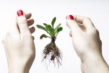 New Life Between Hands Royalty Free Stock Photo