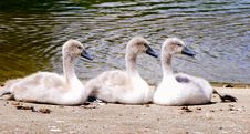 Free Three Signets Royalty Free Stock Photo - 5648285