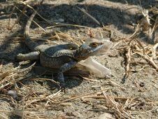 Free Agama Lizard Stock Image - 5648431