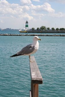 Free Seagull Stock Photo - 5648590
