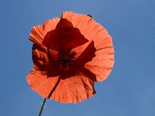 Free Poppy Blossom Royalty Free Stock Photos - 5648628