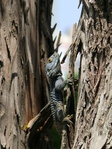 Agama Lizard Stock Photos