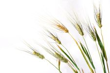 Free Wheat Over White Royalty Free Stock Photography - 5649367