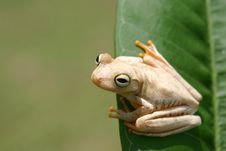 Free Frog On A Leaf Royalty Free Stock Photography - 5649797