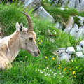 Free Young Alpine Ibex Royalty Free Stock Photography - 5653617