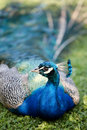 Free Peafowl Royalty Free Stock Images - 5656499