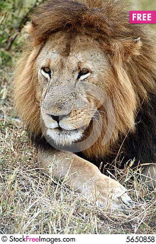 Free Lion Lazing The Grass Royalty Free Stock Photos - 5650858