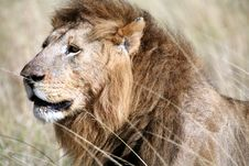 Majestic Lion Head In The Grass Stock Images
