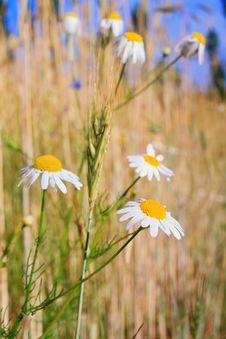 Free Daisy Royalty Free Stock Photo - 5651295