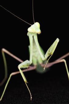 Free Mantis Royalty Free Stock Image - 5651686