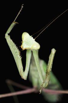 Free Mantis Stock Image - 5651701
