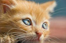Free Red Kitten Stock Image - 5651771