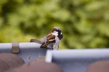 Free Sparrow Stock Photos - 5652023