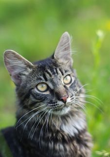 Free Striped Cat At Green Grass Royalty Free Stock Images - 5652269