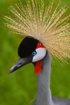 Free Southern Crowned Crane Stock Image - 5652421