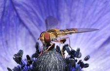 Free Hoverfly Royalty Free Stock Image - 5652976