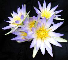 Free Lotus Bunch Stock Photo - 5653200