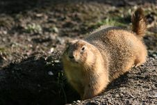 Free Tailed Prairie Dog Royalty Free Stock Photography - 5653437