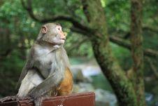 Free Macaca Mulatta Stock Image - 5654511