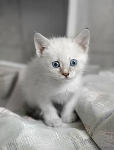 Free White Kitten Royalty Free Stock Images - 5654749