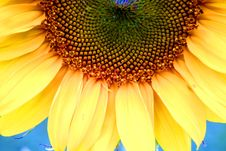 Free Sunflower On Blue Stock Photography - 5655312