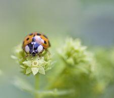 Free Ladybug Royalty Free Stock Image - 5655406