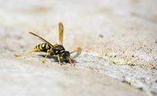 Free Wasp Royalty Free Stock Image - 5655456