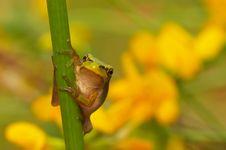 Free Yellow Tree Frog Stock Photo - 5655500