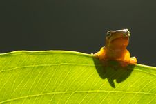 Free Looking Tree Frog Royalty Free Stock Image - 5655536