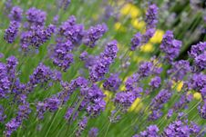 Free Purple Lavender Stock Photos - 5656373
