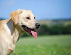 Yellow Labrador Royalty Free Stock Images
