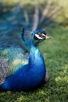 Free Peafowl Stock Photos - 5656453