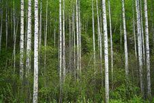 Free Birch Grove Stock Photo - 5656780