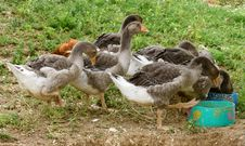Geese Eating Stock Images