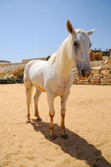 Free White Horse Royalty Free Stock Photos - 5657268