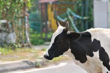 Free Domestic Cow II Royalty Free Stock Photography - 5657967