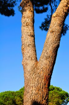 Free Mediterranean Pine Stock Photos - 5658043