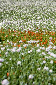 Free Poppy Field Structure Royalty Free Stock Photography - 5659187