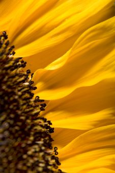 Free Sunflower Royalty Free Stock Image - 5659616