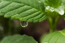 Free Drop On The Leaf Stock Images - 5659784