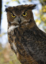 Free Great Horned Owl Royalty Free Stock Photography - 5661797