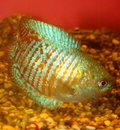 Free Aquarian Fish Ljalius Colisa Lalia Stock Photography - 5663402
