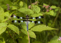 Free Dragonfly Resting On A Branch Stock Photos - 5668453