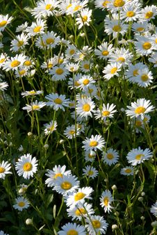 Free Camomiles Royalty Free Stock Image - 5660166