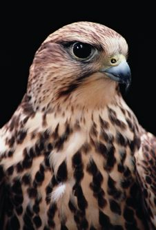 Free Goshawk Royalty Free Stock Photos - 5660278