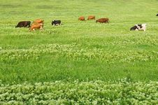 Free Green Lawn With Cows Royalty Free Stock Photos - 5660688