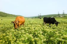 Free Two Cows In A Pasture Stock Photos - 5660733