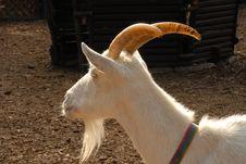 Free White Goat Royalty Free Stock Photography - 5661787