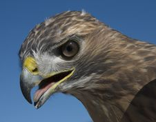 Free Red Tailed Hawk Royalty Free Stock Photos - 5661828