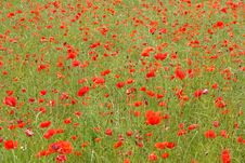 Free Poppies Field Stock Photography - 5662292